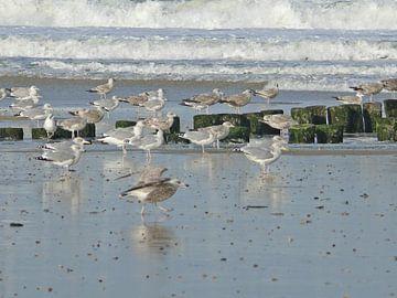Meeuwen aan het strand van Wies Steenaard