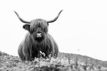 Schotse hooglander in de duinen van Affect Fotografie