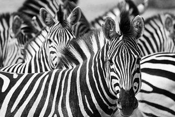 zwart wit zebras in Botswana van
