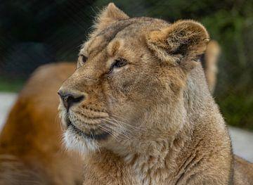 Het leeuwinnenmodel van