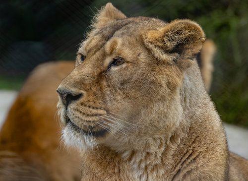 Het leeuwinnenmodel van Arisca van 't Hof