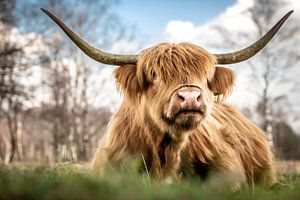 Schotse hooglander II