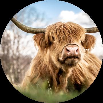 Schotse hooglander II van Hans Brasz