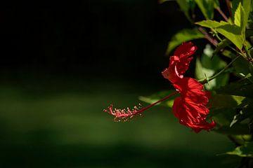 Chinese roos van Michar Peppenster