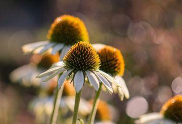 witte en gele zomerpracht van