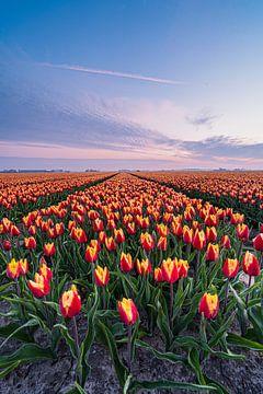 Ein farbenfrohes Tulpenfeld in Goeree-Overflakee von Albert Lamme