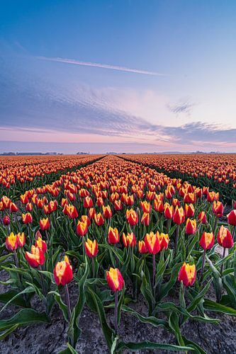 Een kleurige tulpenveld in Goeree-Overflakee