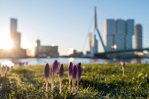 Krokussen bij de Erasmusbrug in Rotterdam van Charlene van Koesveld