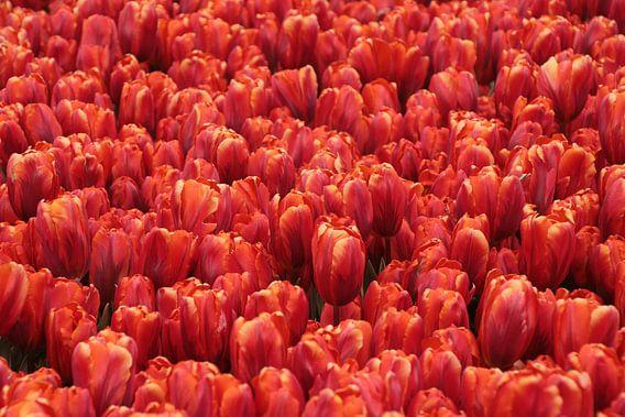 rode tulpen van Yvonne Blokland