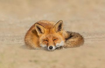 Lazy fox van Anna Stelloo