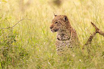 Afrikaans luipaard van Dennis Eckert