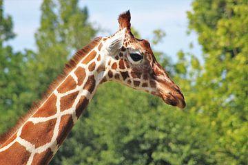 Giraffe jung von Samuel Jansen