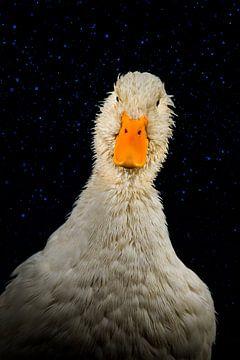 Eendenportret, duck portrait