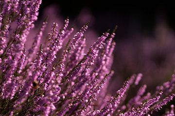 Heidekrautpflanzen von Ton van Buuren