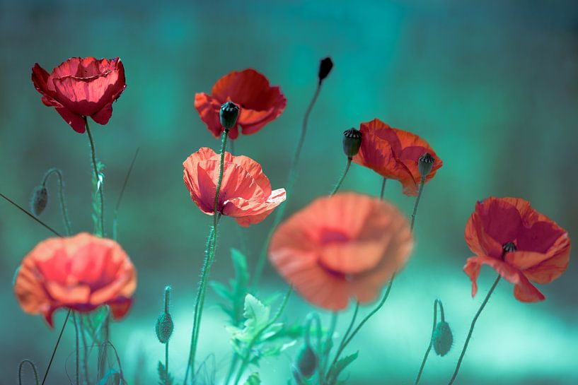 Romantische Mohnblumen von Julia Delgado