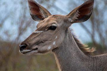 Impala von Dirkje Sol