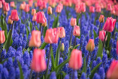 Tulpen liefde tussen de lavendels