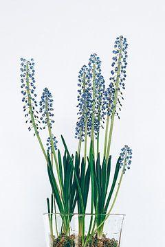 hyacinten van Michael Schulz-Dostal