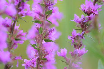 Wildblumen von MPC Fotografie Corporate