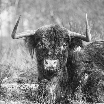 Schotse Hooglander, Zwart/Wit 1:1 Vierkant van Rob van Dongen