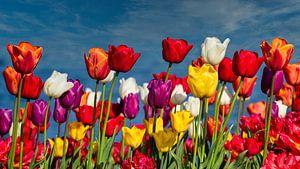 Bloeiende Tulpen van Ed Steenhoek