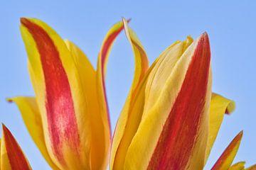 La touche de 2 tulipes jaunes et rouges de près sur J..M de Jong-Jansen