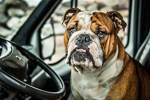 Portret van een Bulldog