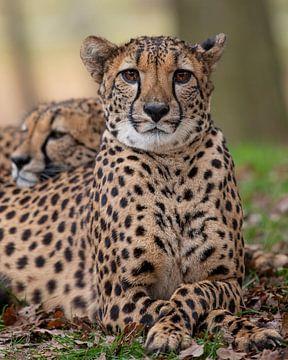 Leopard Nahaufnahme von Patrick van Bakkum