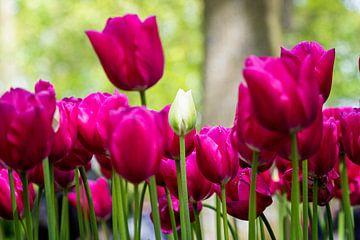 Weiß zwischen den rosa-roten (Tulpen) von Marly De Kok