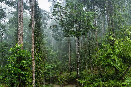 Regenwoud in Borneo van