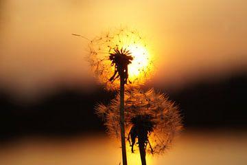 Sonnenuntergang mit Löwenzahnflaum von Willemijn