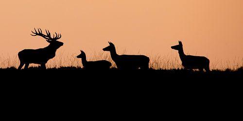 Edelherten in de ondergaande zon
