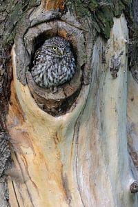 Little Owl / Minervas Owl ( Athene noctua ) sitting in a in a tree hollow