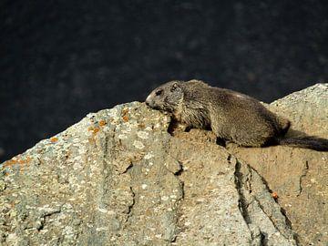 Marmot van Ilona Hollander