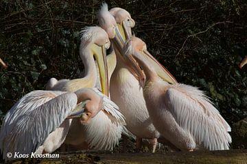 Pelikanen van Koos Koosman