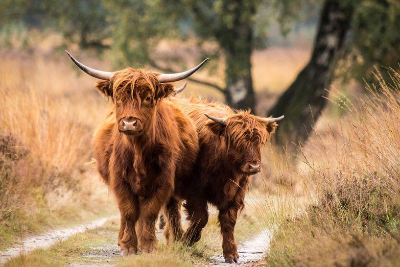 Schotse Hooglander. van Harm Roseboom