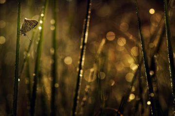 Bruine vuurvlinder von Jan Paul Kraaij