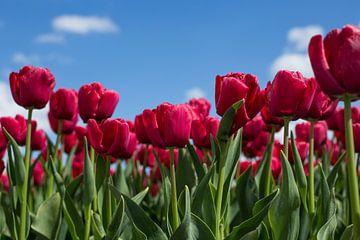 Hollandse tulpen van Saskia Bon