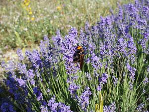 Blühender Lavendel und Große Wespe von Paul Evdokimov