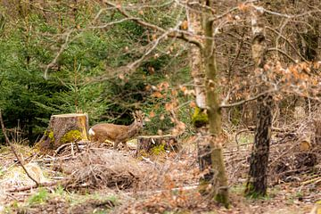 Ein Rehbock im Wald von JWB Fotografie