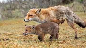 Baby vos rent met zijn moeder mee van Patrick van Bakkum