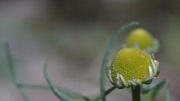 Blume gerade aus der Knospe von Customvince | Vincent Arnoldussen