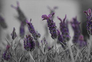 Zwart Wit Lavendel