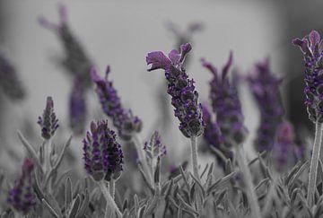 Zwart Wit Lavendel van ÇaVa Fotografie