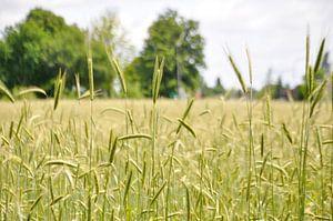 Summer rye field von Roel Van Cauwenberghe