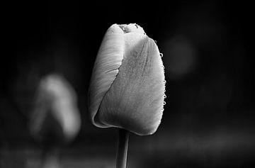 Schöne Tulpe an einem schönen nebligen Morgen von Henry Oude Egberink