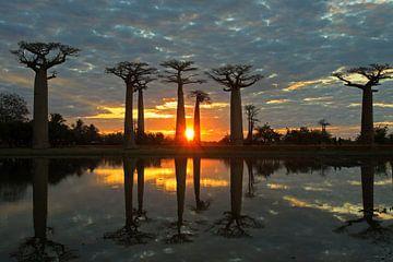 Baobab's bij zonsondergang sur