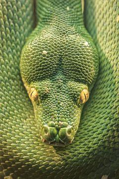 Groene Boompython van Ronald Mallant