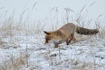 Red Fox hunting in snow sur wunderbare Erde