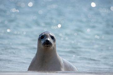 zeehond op het strand van Ed Klungers